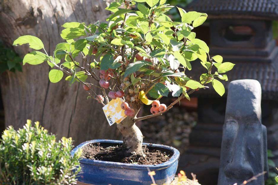 Venta de frutales bonsai en Cartagena