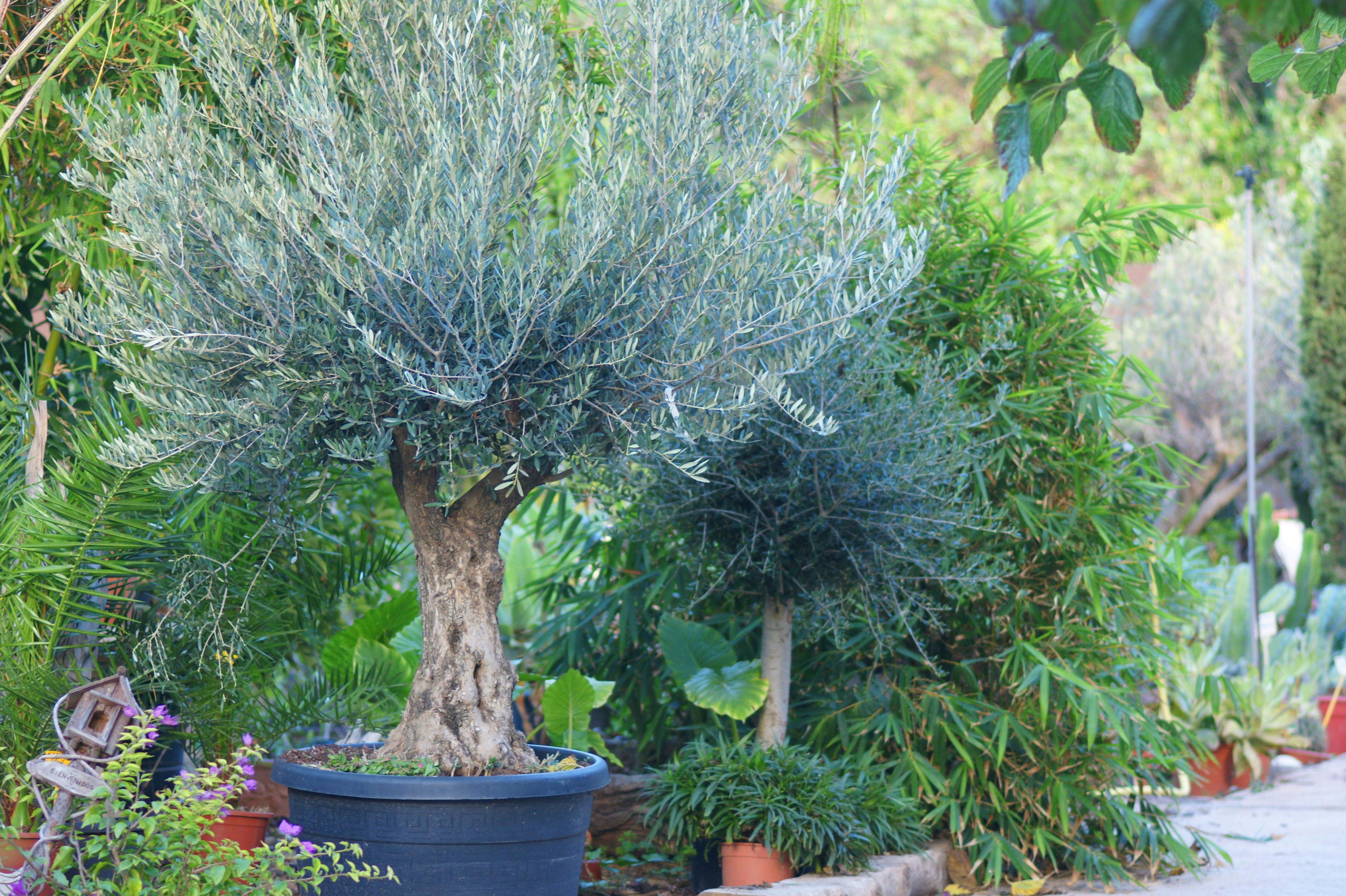 Venta de olivos en Murcia
