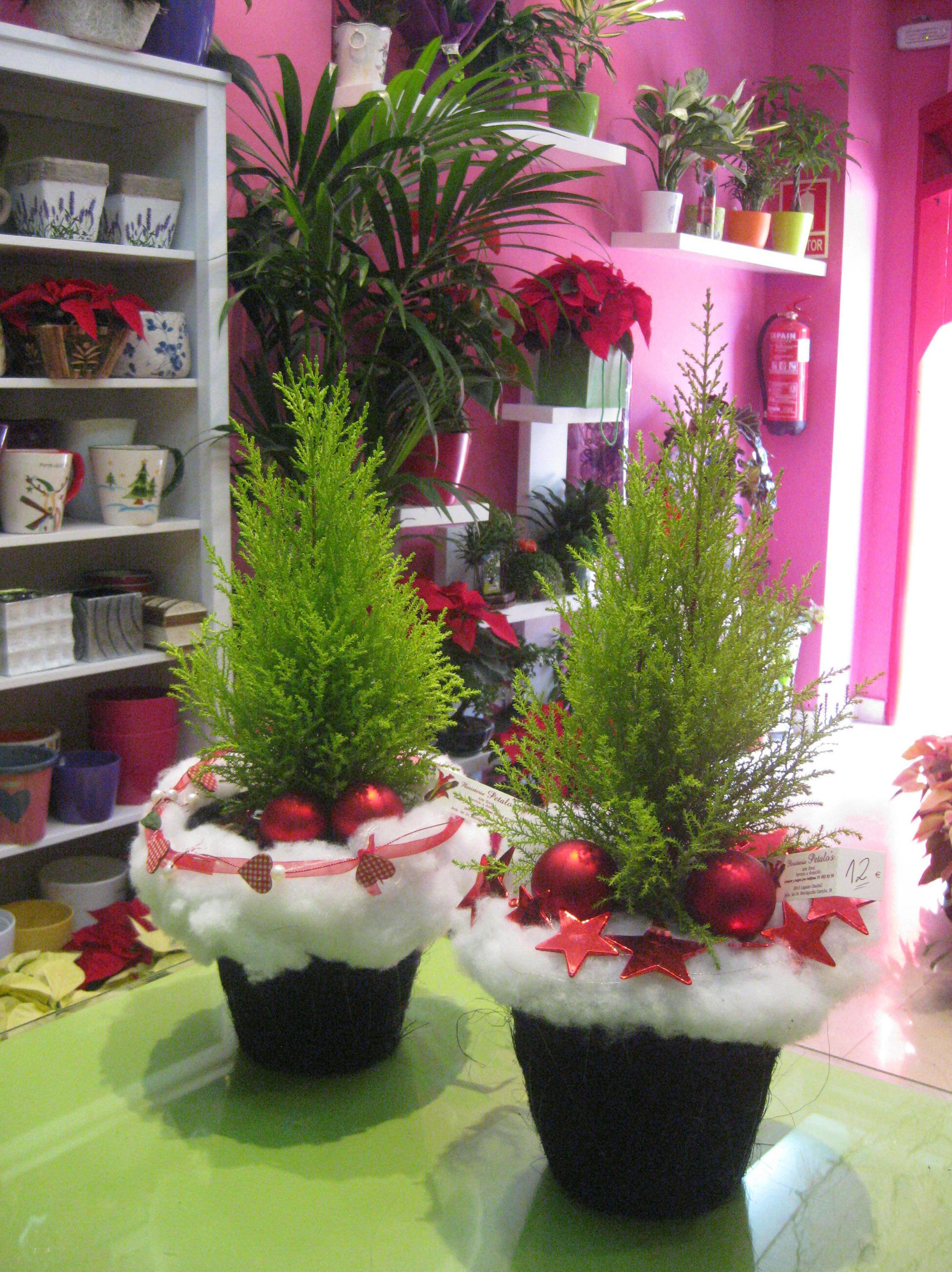 Cupresus: Catálogo de flores y plantas de Floristería Pétalos