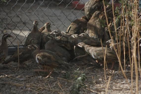 Pollos de 2 meses