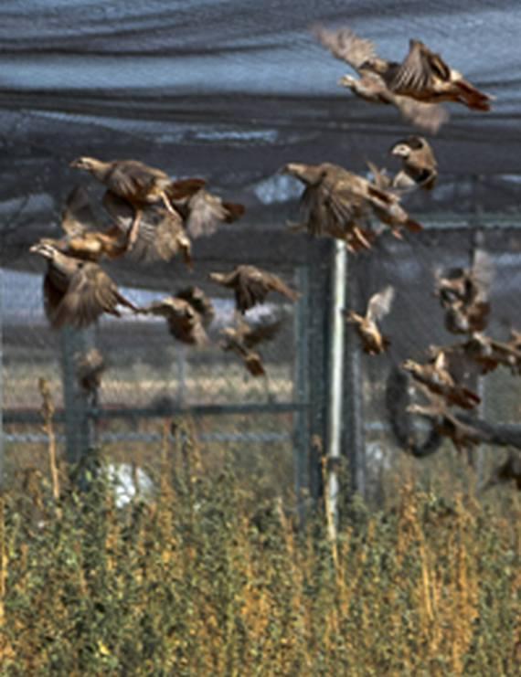 Pollos volanderos