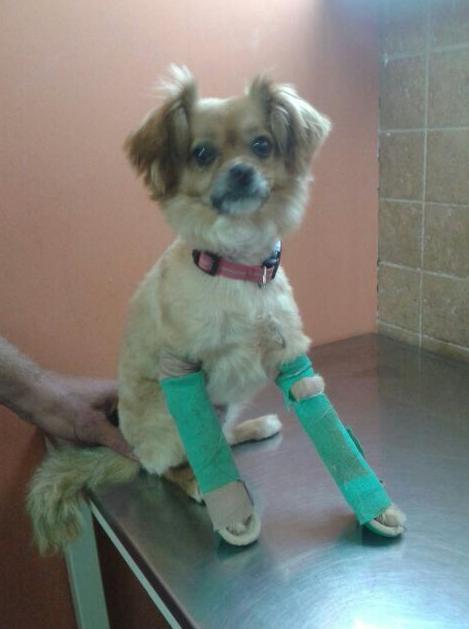 Traumatología veterinaria