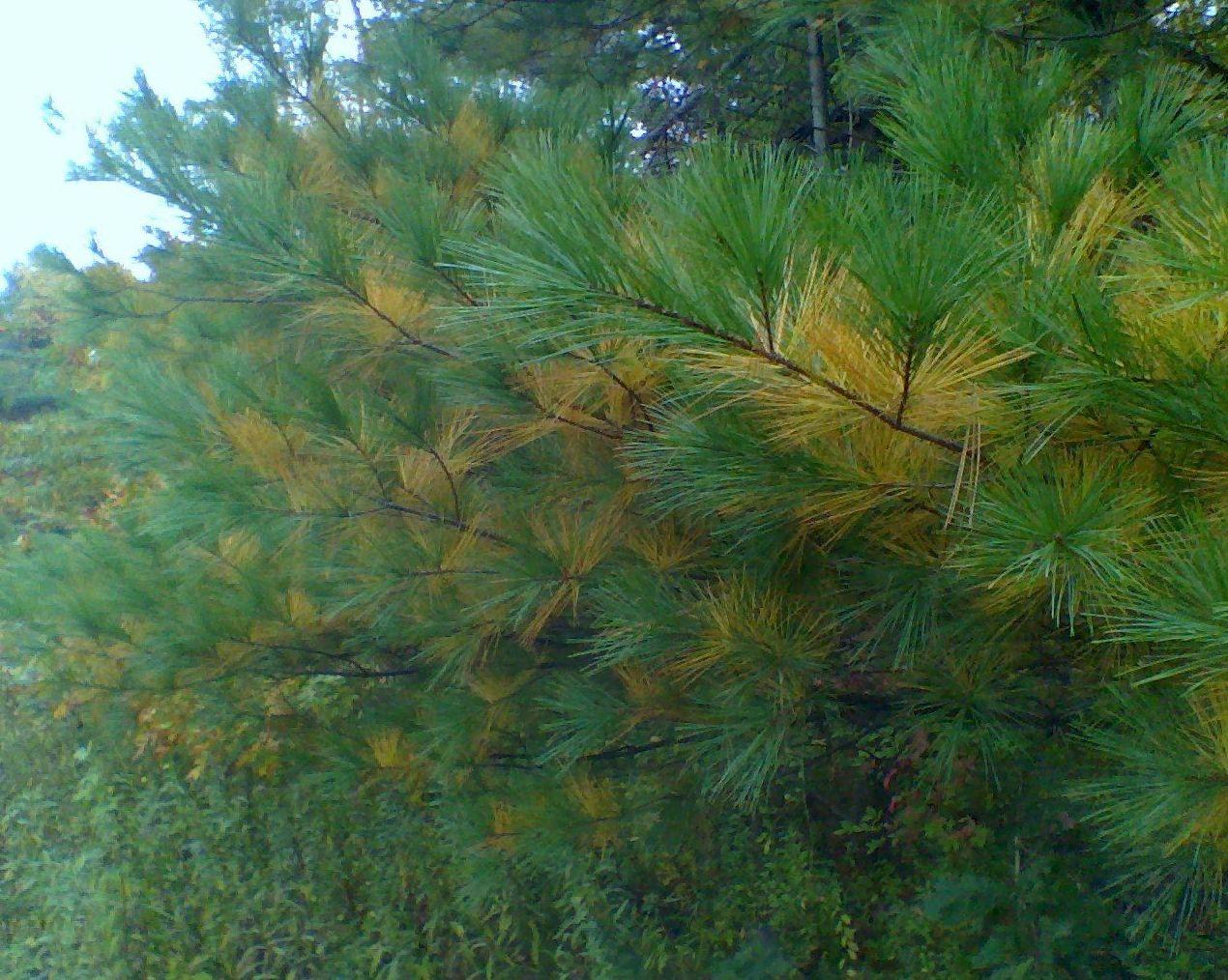 Pinus radiata : Productos y servicios de Maderas Barrio, S.L.