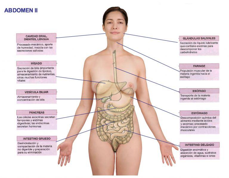 Osteopatía visceral: Cursos de Instituto Aragonés de Osteopatía