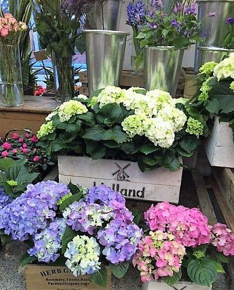 Hortensias blancas, azules, rosas...