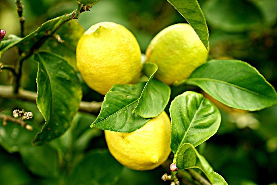 Venta de árboles frutales: Productos y servicios de SiA Consultores Servicios Agroalimentarios