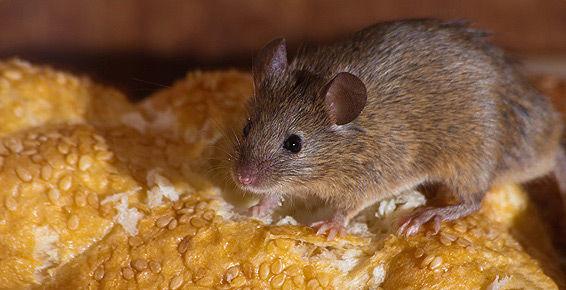Control de plagas y roedores en Sevilla