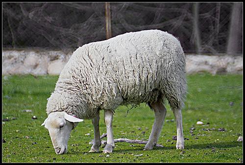 Leche de oveja: Productos de Lácteas Cobreros