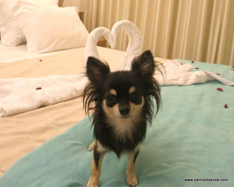 Chihuahua de pelo largo en Elche