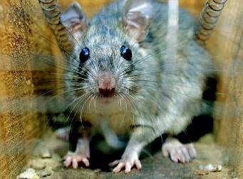 Eliminación de ratas