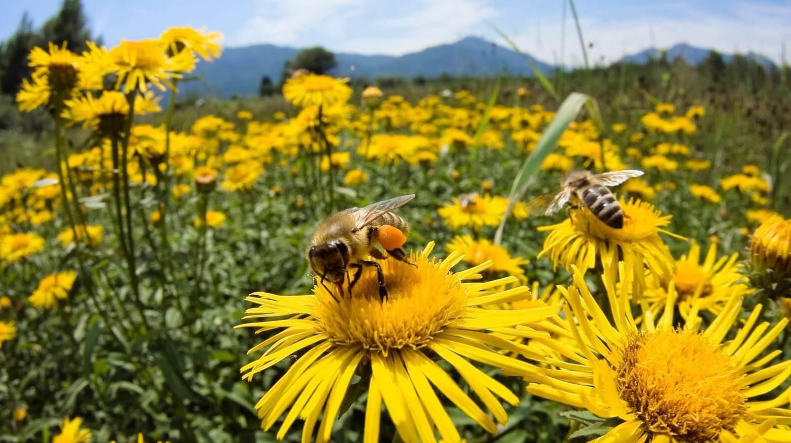 La preocupante desaparición de las abejas