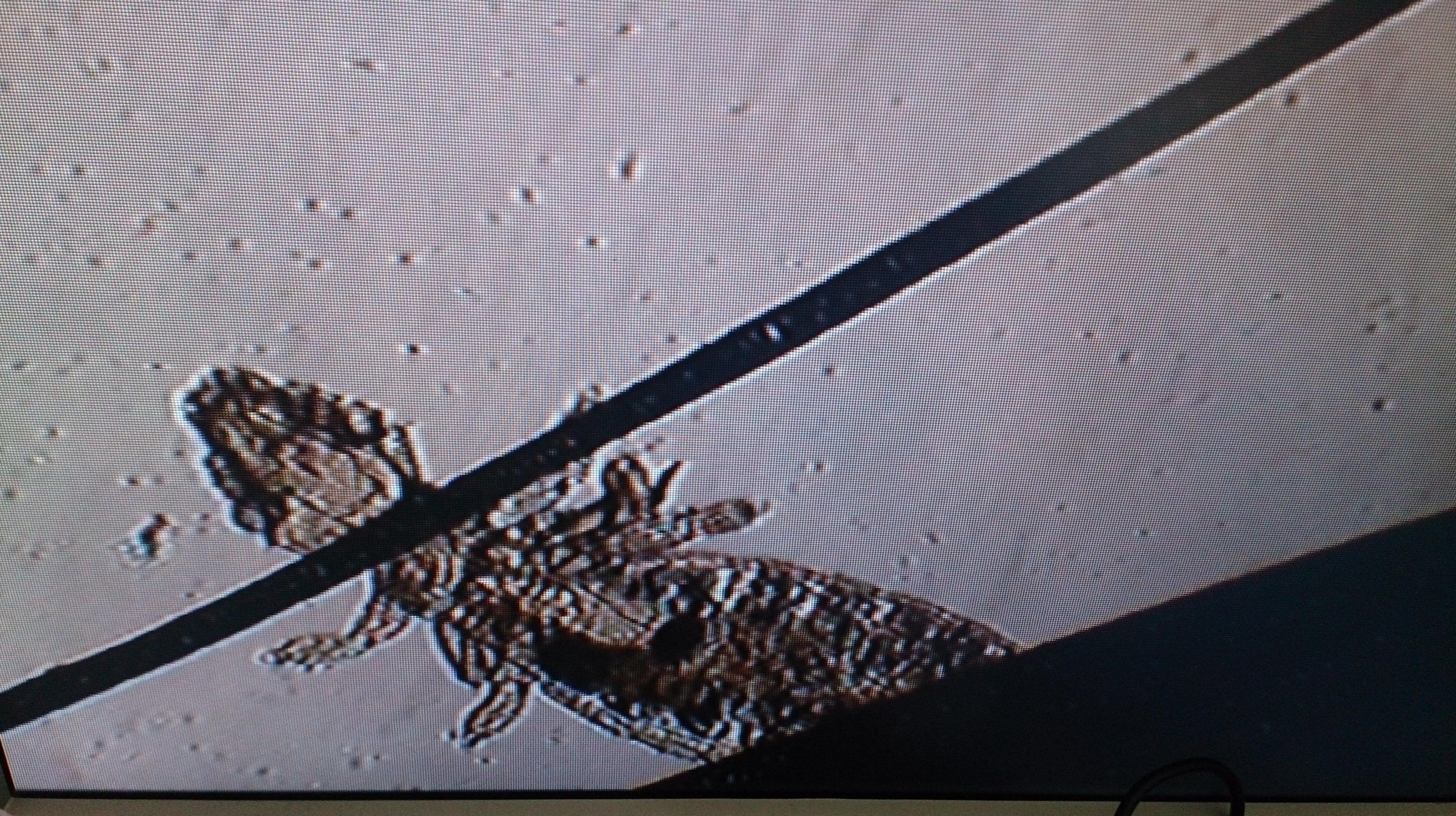 PIOJOS(GLIRICELA PORCELI) AL MICROSCOPIO EN COBAYA(CAVIA PORCELI)