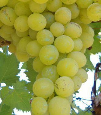 Clones de variedades de uva blanca certificadas sobre patrón