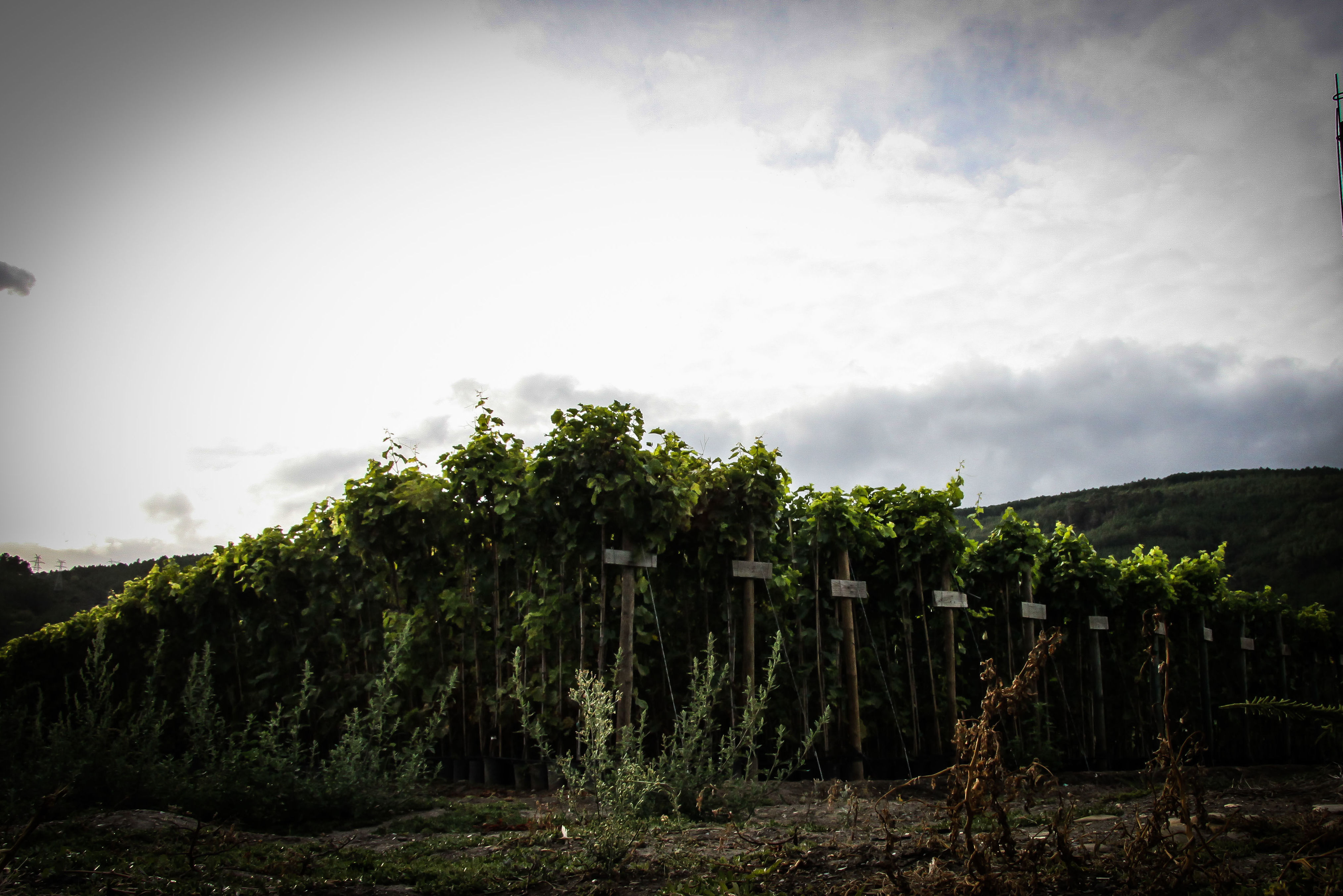 Foto 34 de Viveros agrícolas y forestales en Vilamartín de Valdeorras | Viveros Vedo