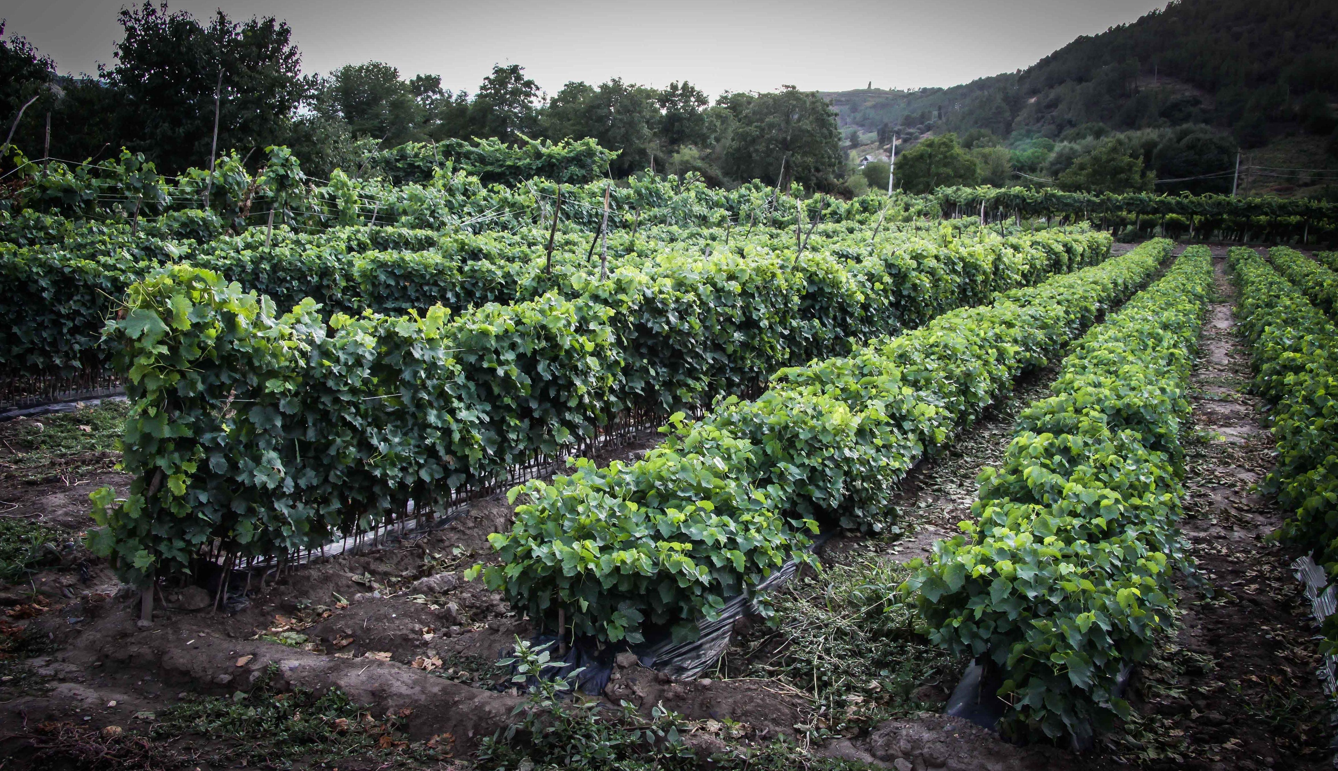 Foto 41 de Viveros agrícolas y forestales en Vilamartín de Valdeorras | Viveros Vedo