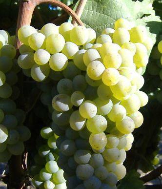 Variedades de uva blanca standard para vinificación