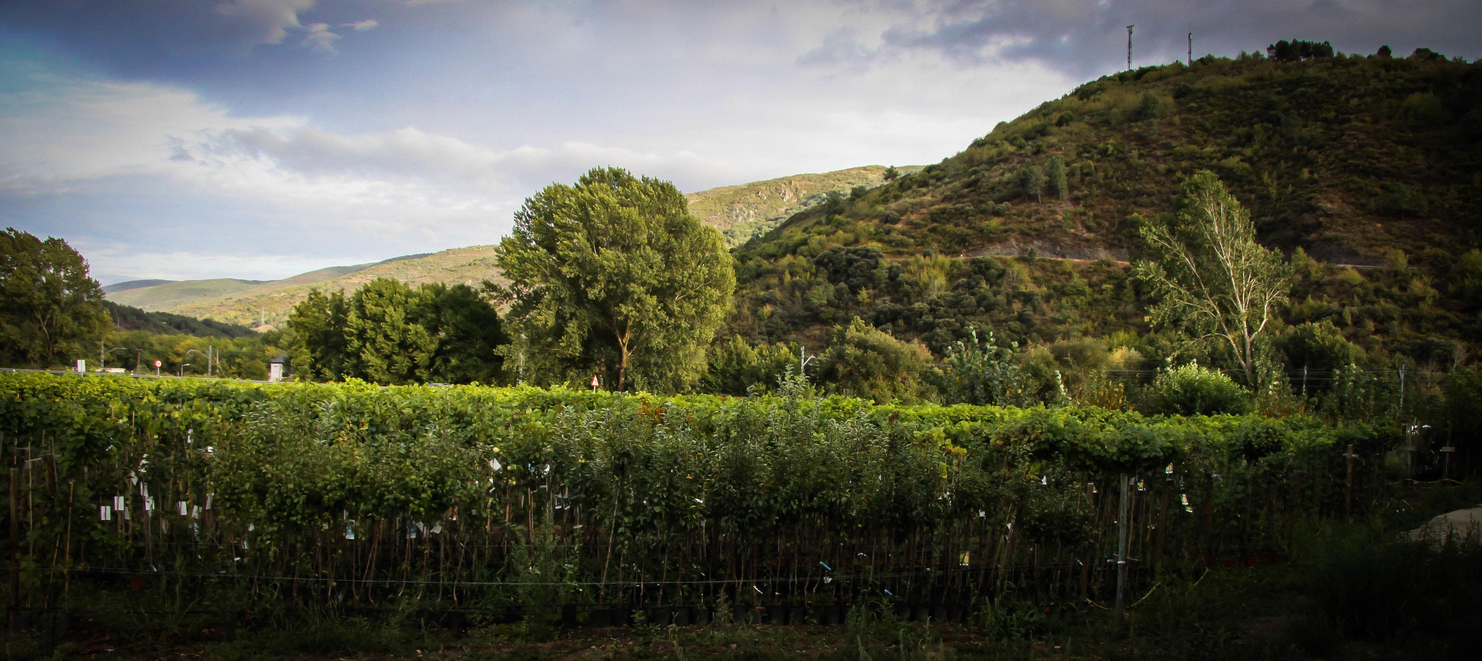 Foto 25 de Viveros agrícolas y forestales en Vilamartín de Valdeorras   Viveros Vedo