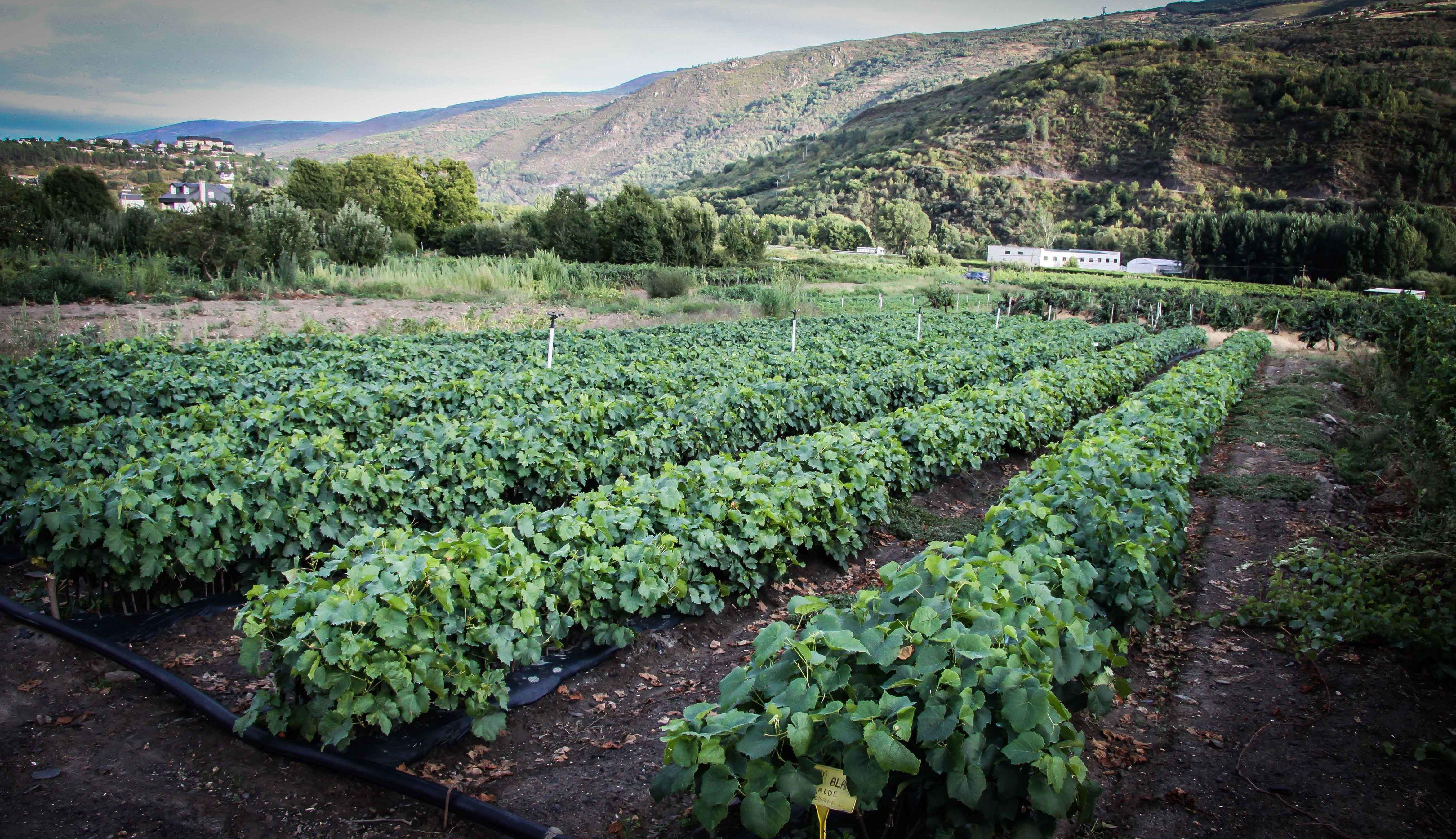 Foto 50 de Viveros agrícolas y forestales en Vilamartín de Valdeorras | Viveros Vedo