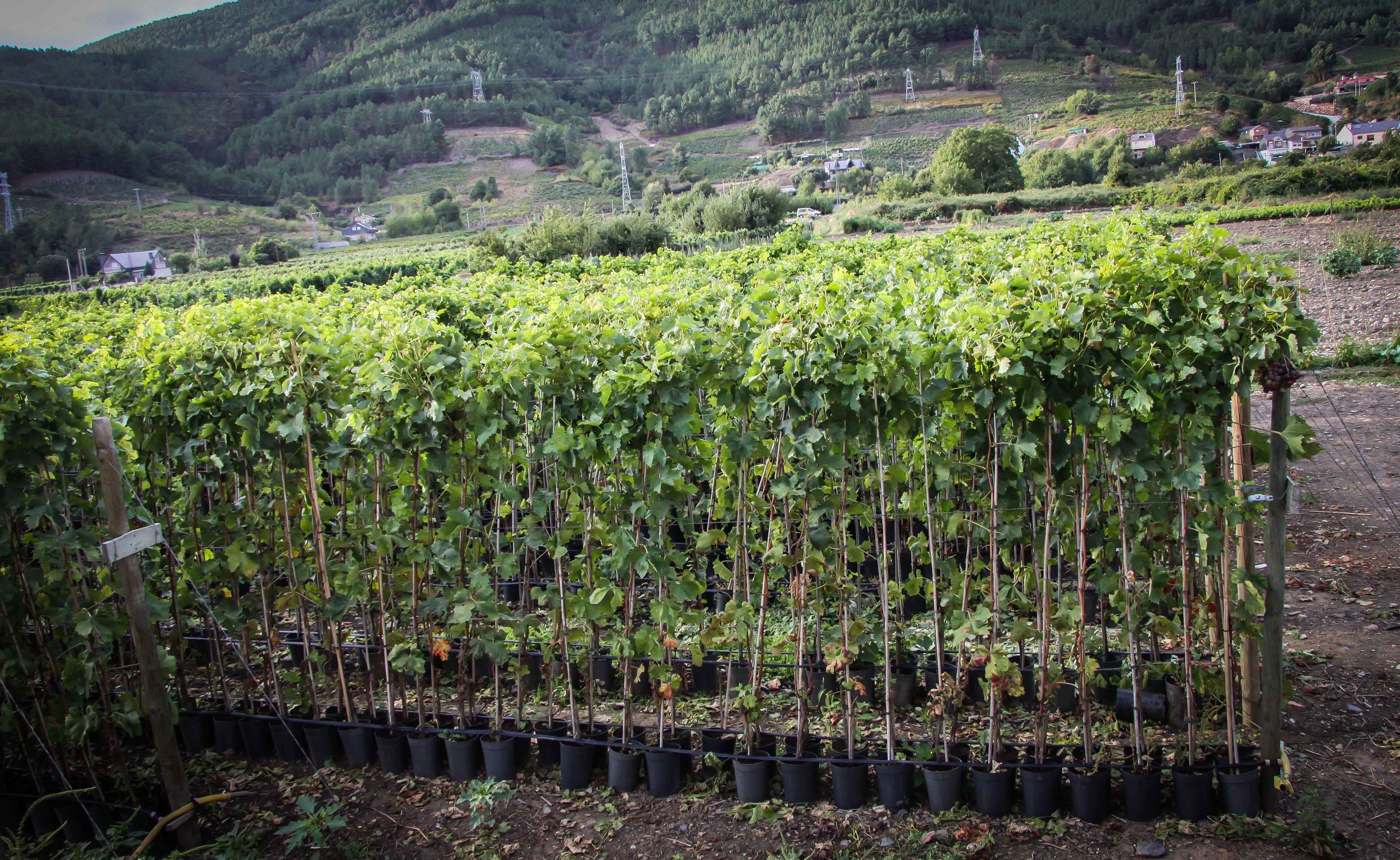 Foto 26 de Viveros agrícolas y forestales en Vilamartín de Valdeorras | Viveros Vedo